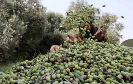 الزراعة بغزة تحدد موعد موسم قطف الزيتون